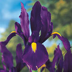 Purple Tall Dutch Iris