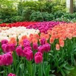 Pride Tulip Mixture