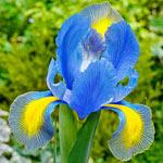 Mystic Beauty Dutch Iris