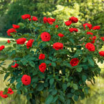 "Take It Easy™ 24"" Patio Tree Rose"