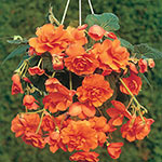 Orange Cascade Begonia