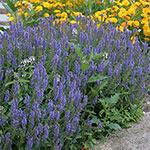 Blue Hill Salvia