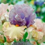 Enraptured Bearded Iris