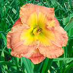 Pacific Moon Reblooming Daylily