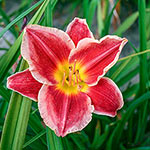 Key To My Heart Reblooming Daylily