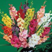 Deluxe Gladiolus Mixture Super Sak