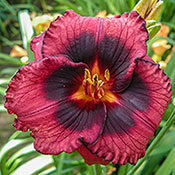 Spacecoast Technical Knockout Daylily