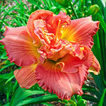 Vision of Love Daylily