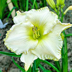 Spacecoast White Out Reblooming Daylily