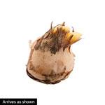 Fuscotinctus Snow Crocus