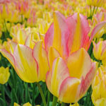 Antoinette Tulip