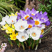 Three Cheers Snow Crocus Mixture