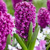 Miss Saigon Hyacinth