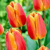 Oxford Elite Perennial Tulip
