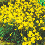 Golden Bells Carpet Daffodil™