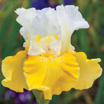 Alpine Journey Bearded Iris