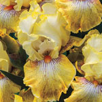 Pastel Bearded Iris Collection