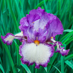 Swept Off My Feet Reblooming Bearded Iris