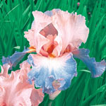 Celebration Song Bearded Iris