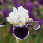 Frosted Velvet Dwarf Bearded Iris