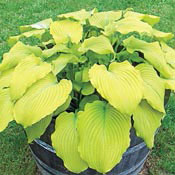Banana Kid Hosta