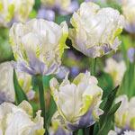 White Lizard Tulip