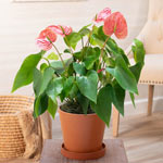 Pink Dutch Anthurium