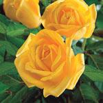Fragrant Rose Garden Collection-3 Plants