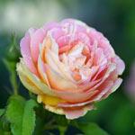 Fragrant Rose Garden Collection (5 plants)
