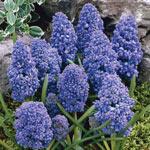 Blue Spike Grape Hyacinth