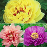 Itoh Lifetime Peony Collection
