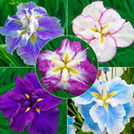 Breck's® Dinner Plate™ Japanese Iris Collection