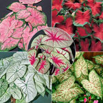 Tropical Caladium Collection