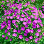 Pink Diadem Geranium