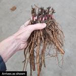 Breck's® Wild Lactiflora Peony