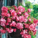 Pink Delight Hanging Basket Begonia