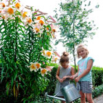 High Tea Lily Tree®