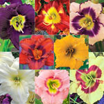 Bloomin' Beautiful Daylily Collection