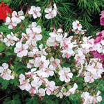 Everblooming Hardy Geranium Collection