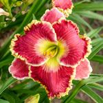 Born to Run Reblooming Daylily