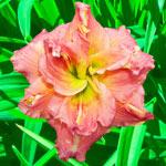 Lilylands Melon Sorbet Daylily