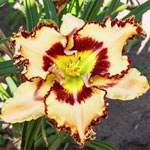 King of the Ages Reblooming Daylily