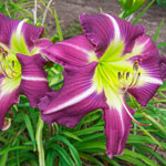 Thank Your Lucky Stars Reblooming Daylily