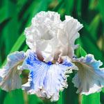 Haunted Heart Bearded Iris