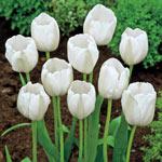 Pays Bas Tulip