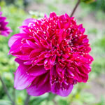 Richard's Fortune Dahlia