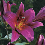 Classic Lily Tree® Collection