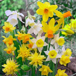 Dwarf Daffodil Mixture