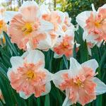 Edinburgh Daffodil
