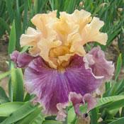 Roaring Twenties Bearded Iris
